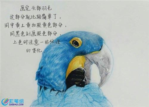 彩铅画鹦鹉步骤- 素描彩铅画画水彩-彩笔绘