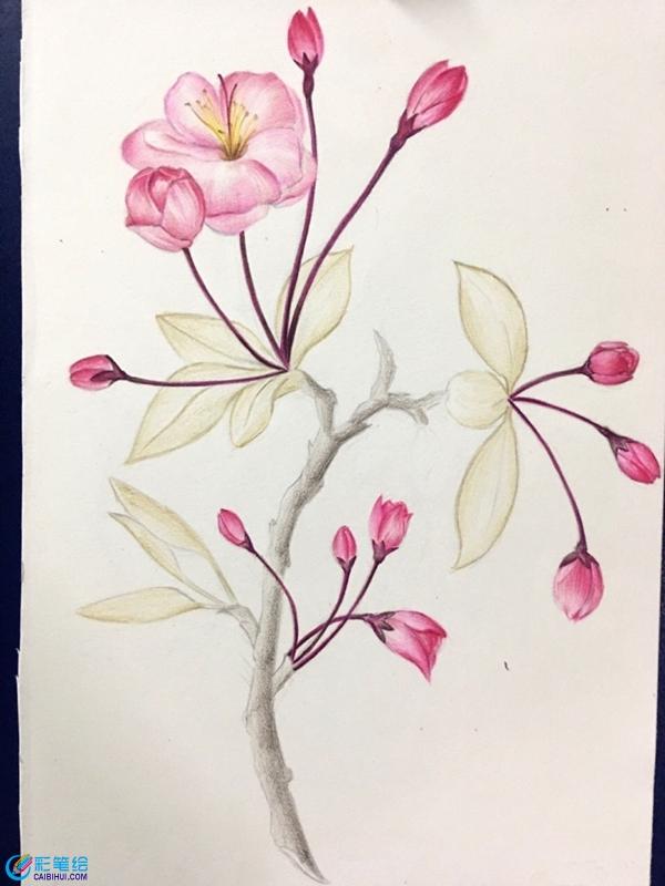 彩铅画手绘唯美花卉海棠花