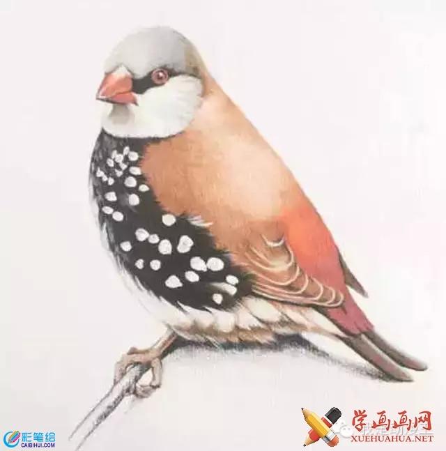 彩铅画教程:手绘小鸟的画法详解