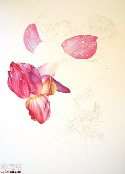 彩色铅笔画荷花莲藕过程