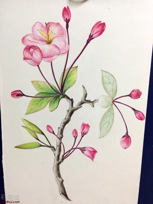 彩铅怎么画海棠花