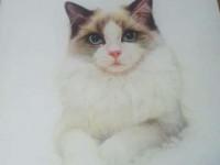 彩铅画入门教程之可爱的布偶<font color='red'>猫</font>