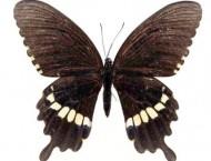 绘画艺术之彩铅画黑蝴蝶