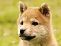 <font color='red'>动物</font>油画之秋田犬的画法教学
