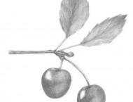 素描简单的樱桃