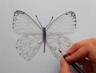 彩铅画一只漂亮的蝴蝶